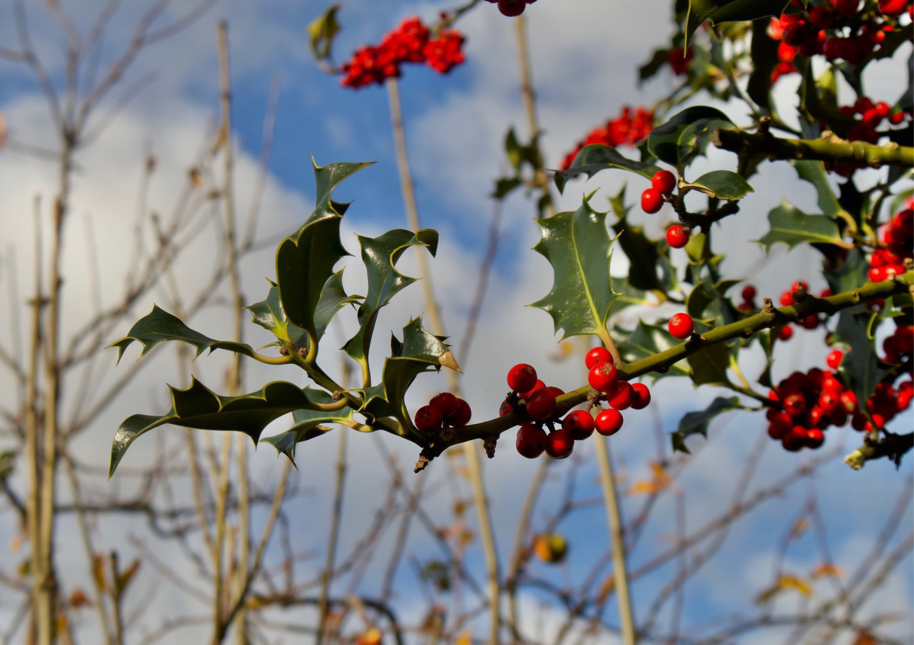 Holly growing by the community centre in Shoreham-by-Sea