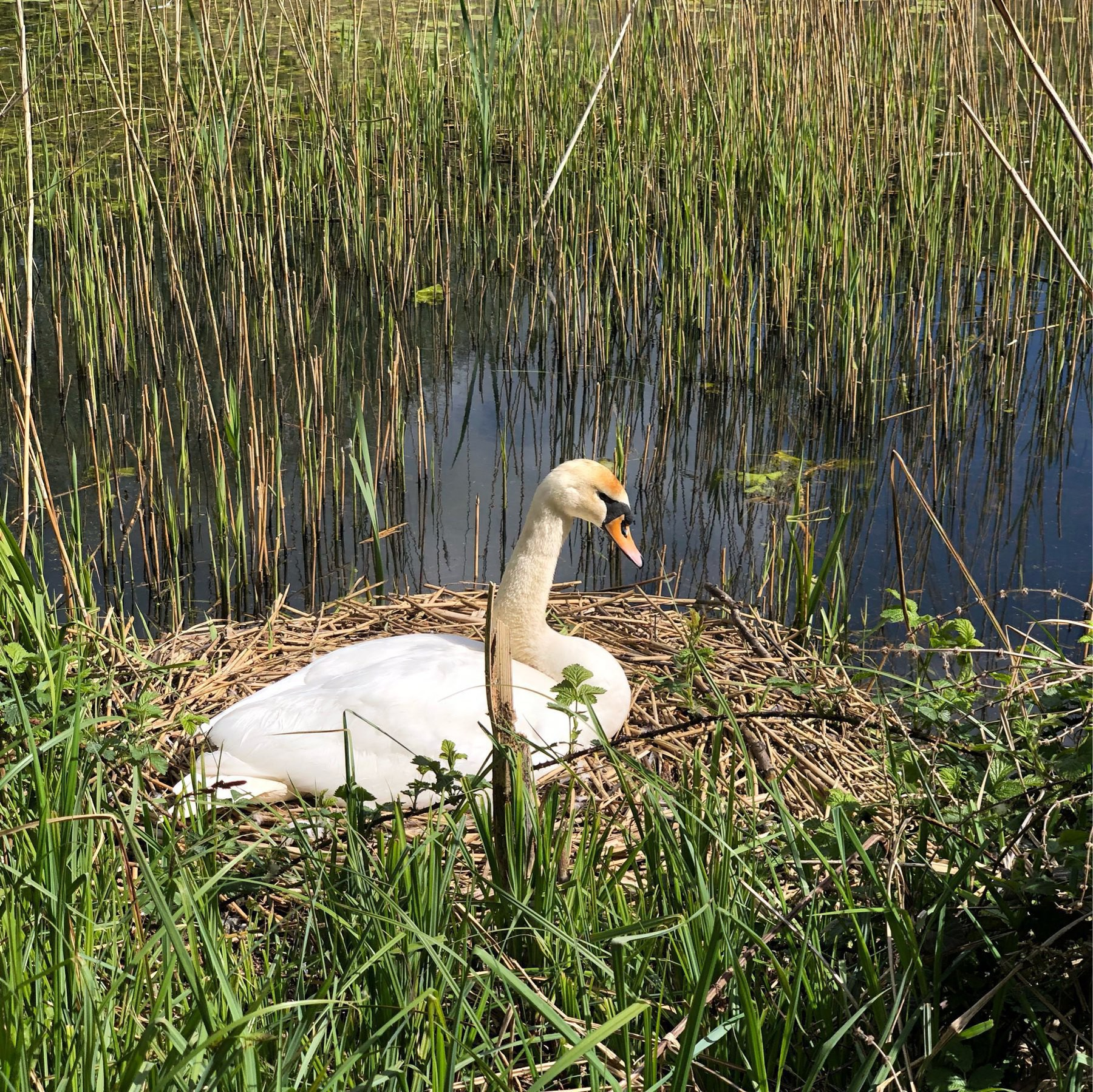 Nesting swan at Woods Mill, West Sussex.
