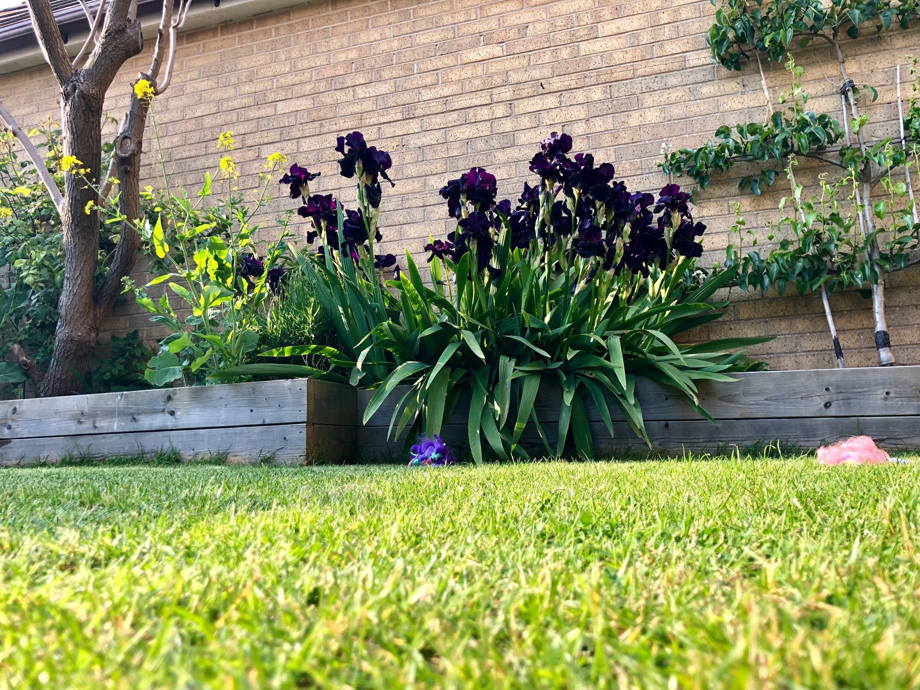 the back garden in late spring. Irises are in full bloom.
