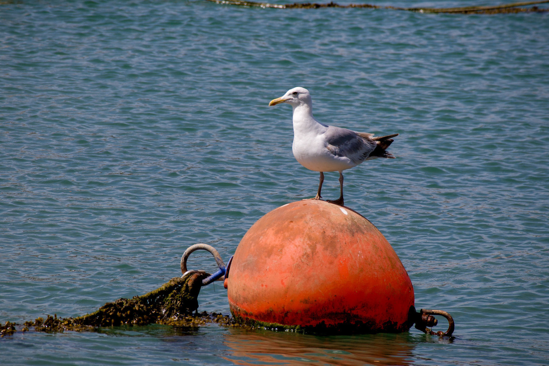 A seagull on s bouy in the river Adur