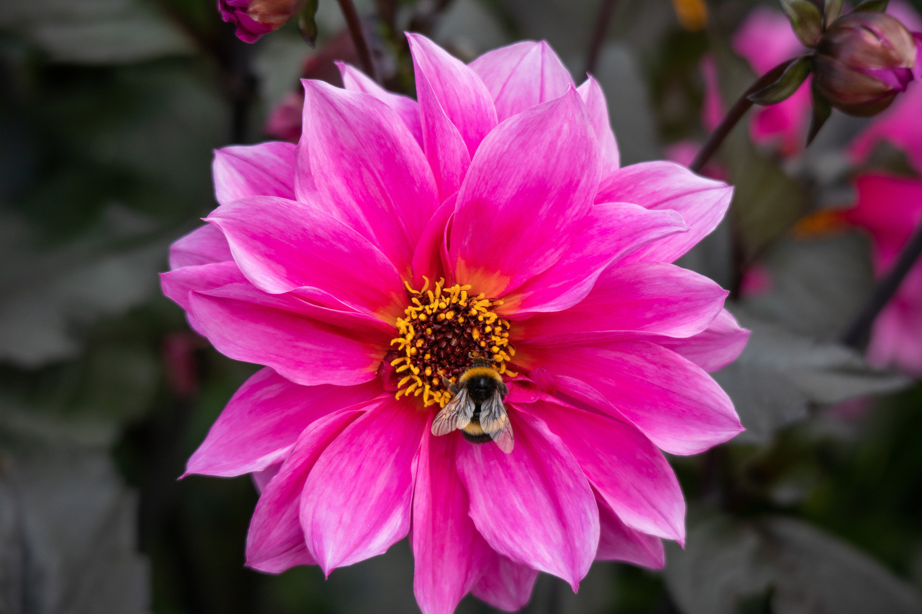 A bee hard at work on a pink flower.