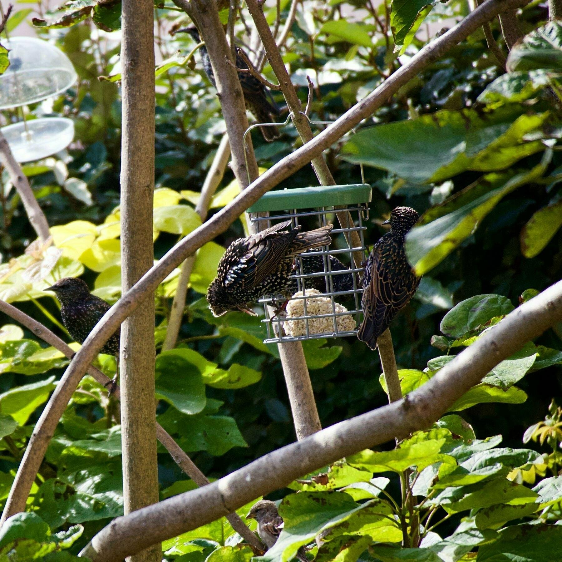Birds on a suet ball feeder in a West Sussex garden.