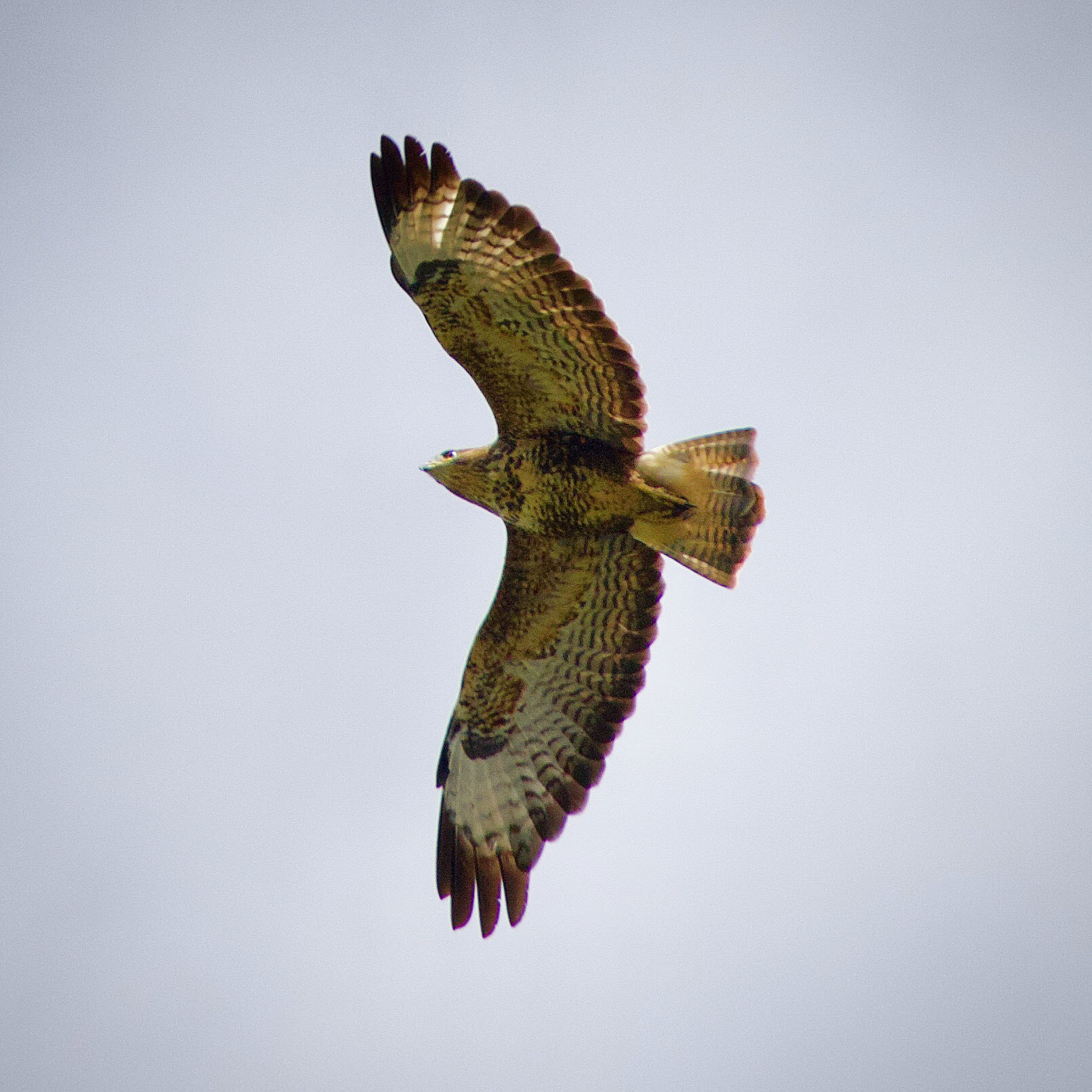 A common buzzard in flight.