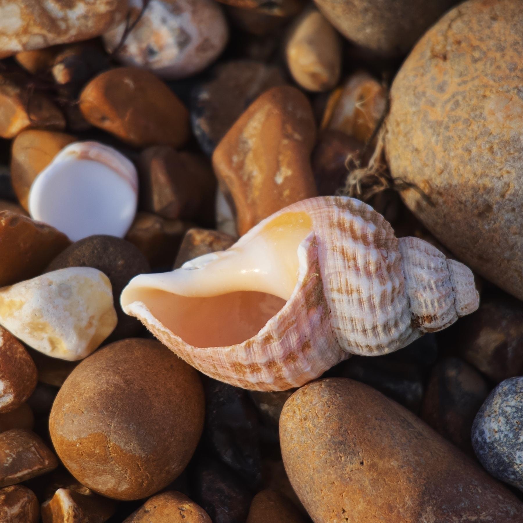 A seashell on Shoreham Beach