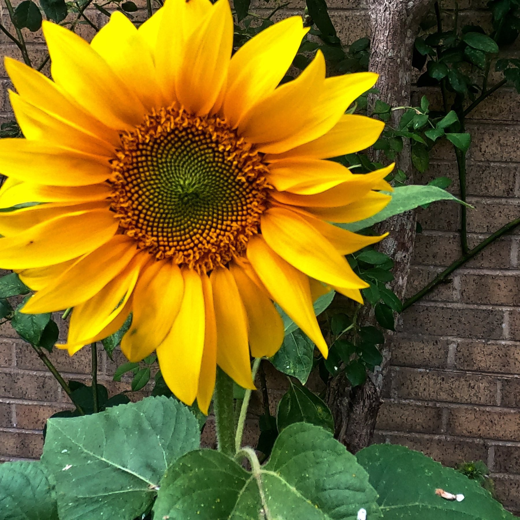 A sunflower in the back garden.