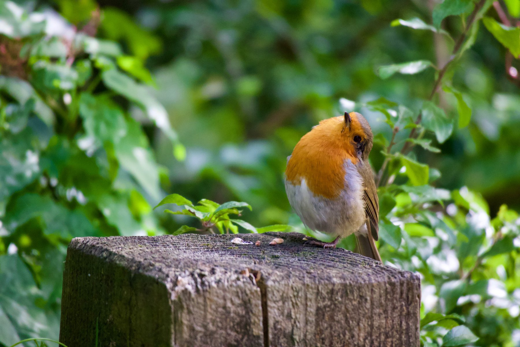 A robin at Woods Mill in Sussex