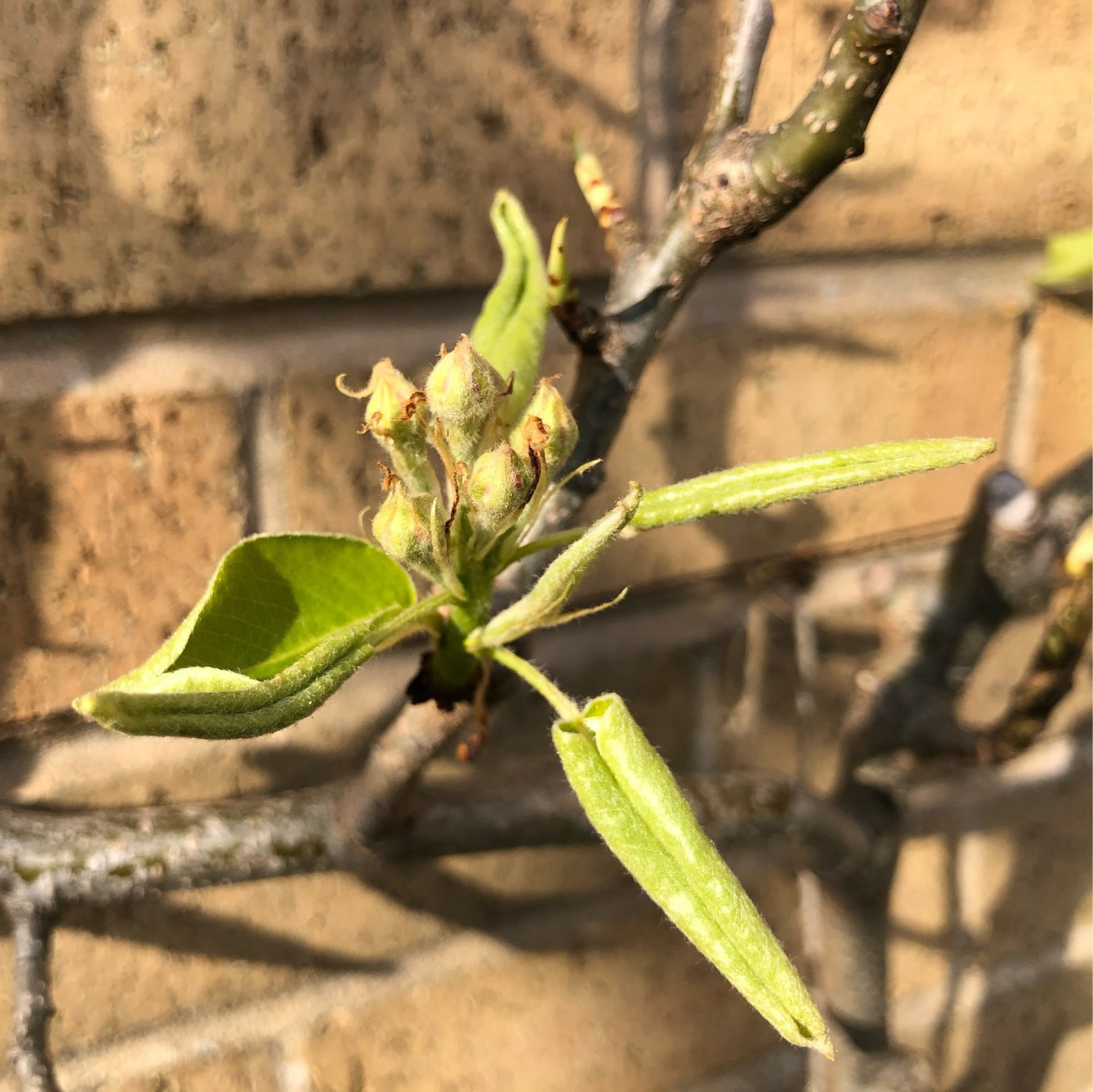 An espalier fruit tree coming into bloom.