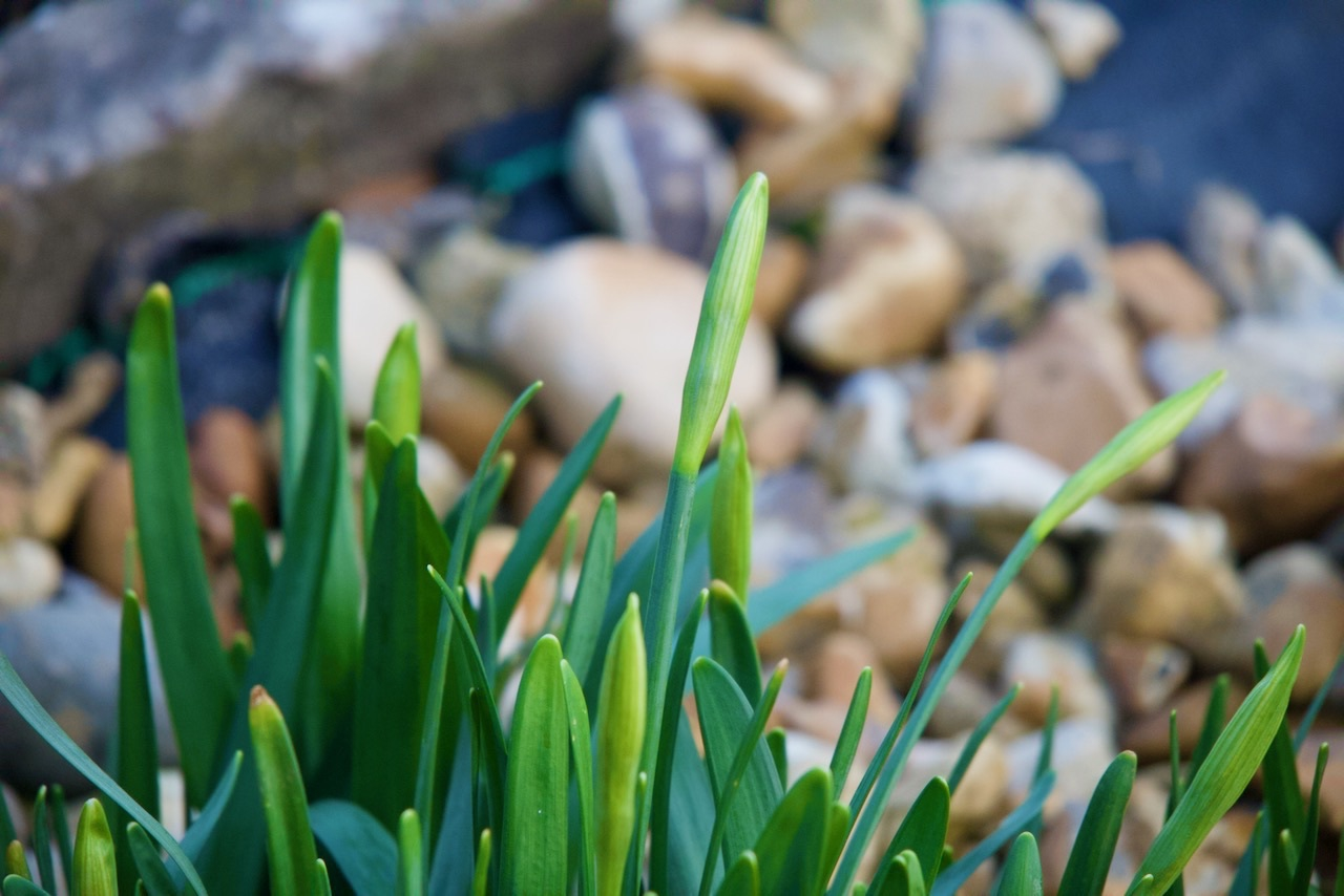 Daffodils nearly ready to bloom.