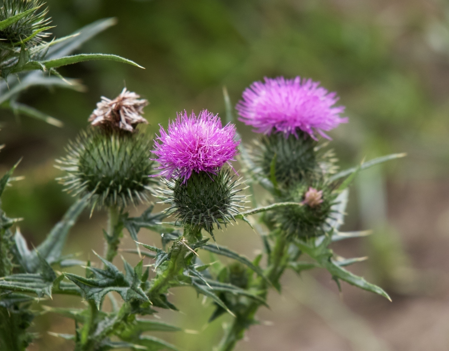 A thistle at Woods Mill in Sussex