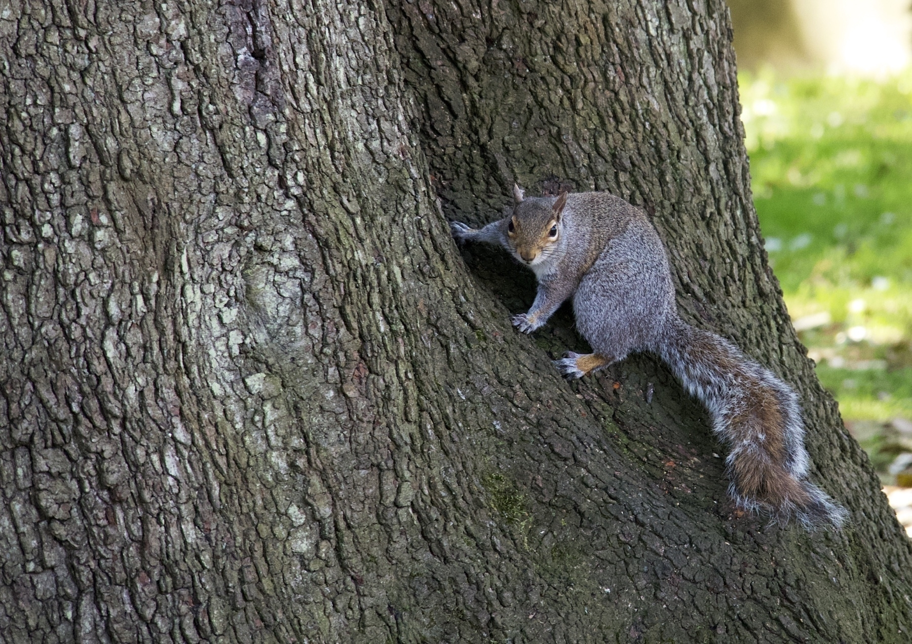 A squirrel in the churchyard of St Mary de Haura.