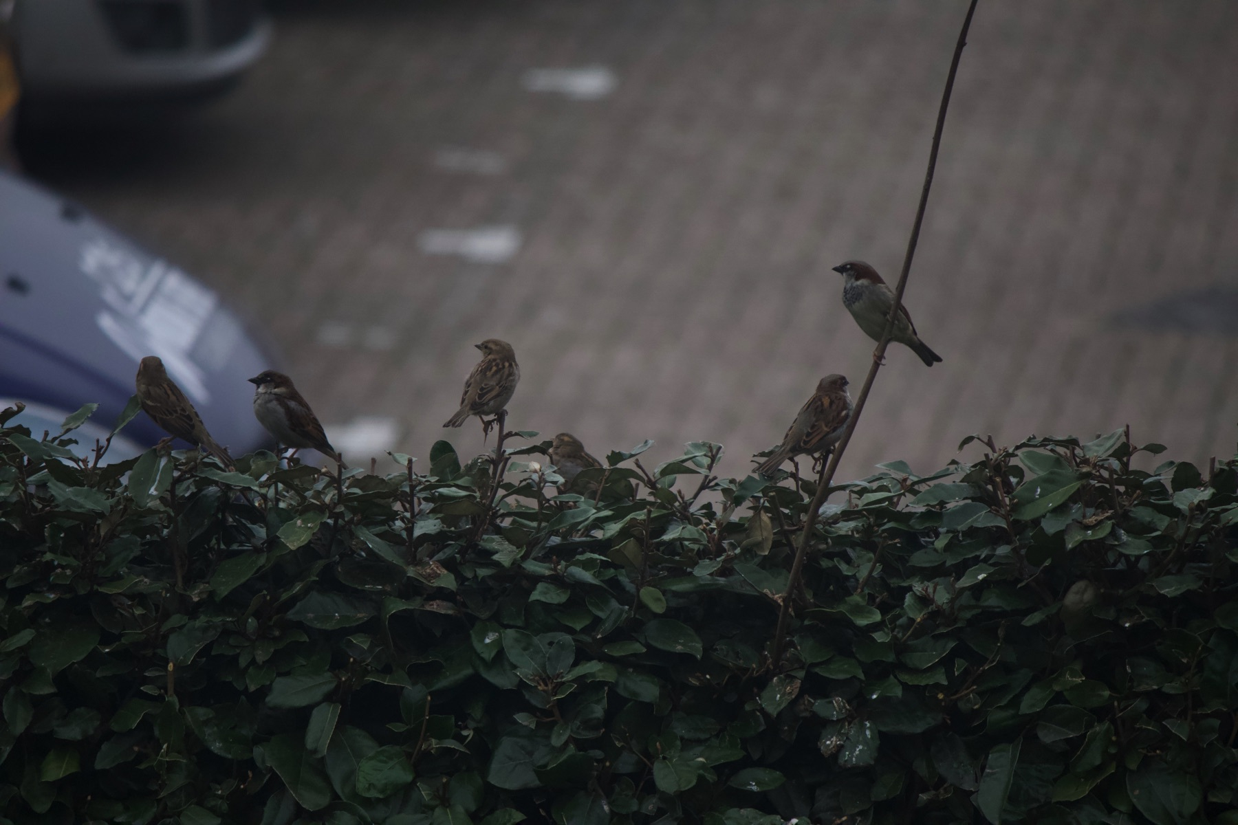 Birds on our back hedge.