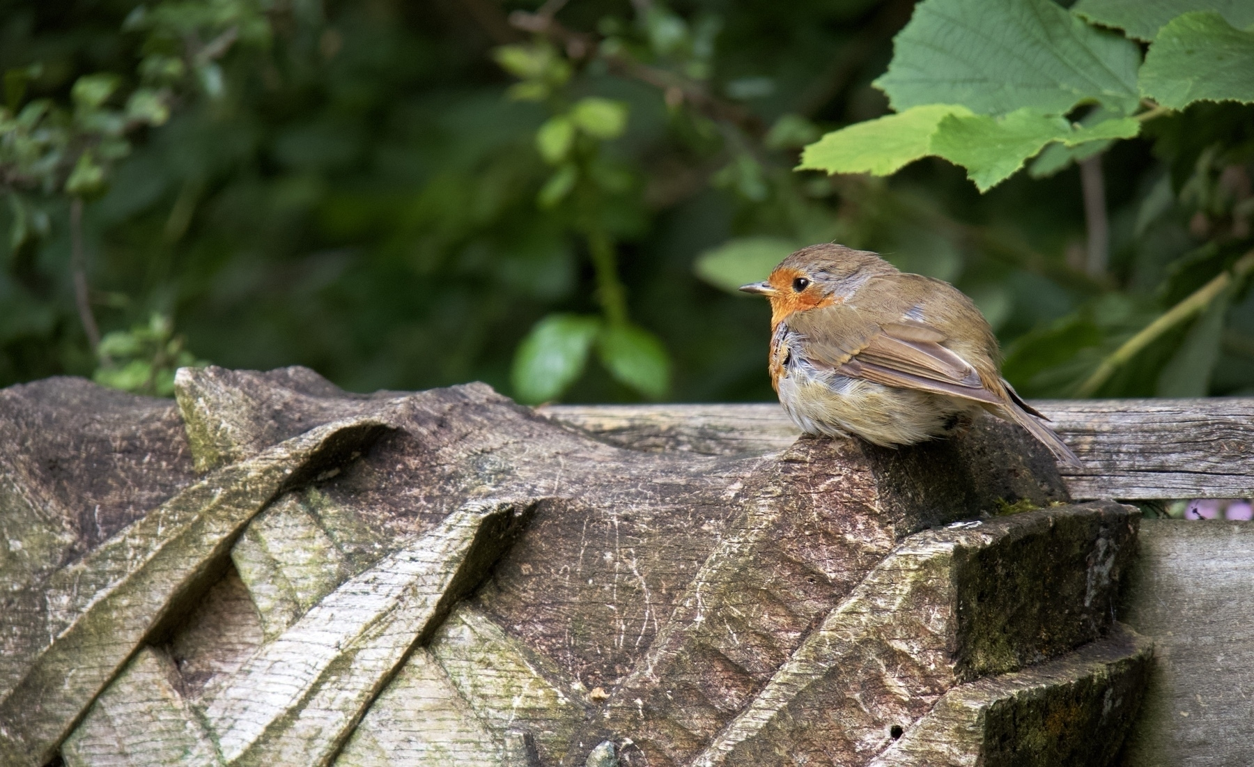 A robin at Woods Mill in Sussex.